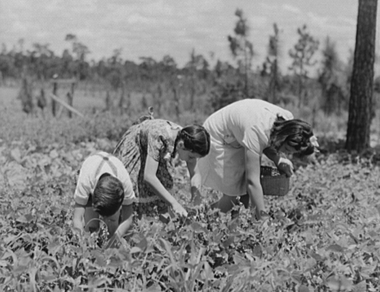 Picking Beans in Escambia Farms