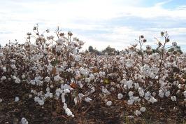 cotton-2180559_640